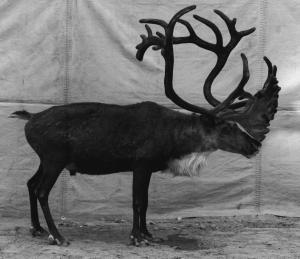 Balthasar Burkhard, Reindeer, 1996, Silver print mounted on Aludibond, 200 x 240 cm (diptych), Unique